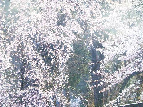 桜・・・。
